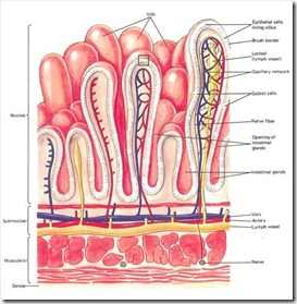 lymphatic_system-intestinal villi